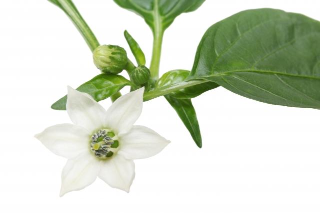 greenpepper_flower